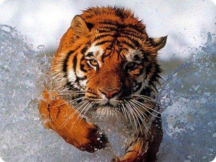 Bathing_tiger